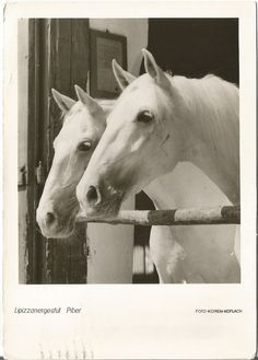White Lipizzaner Stallions (Horse) on a Real Photograph Postcard from Austria 1967 with a Republik Osterreich Christkinol Stamp Lippizaner, Old Postcards, Zoology, Animal Kingdom, New Art, Austria, Dancing, Photograph, Stamp