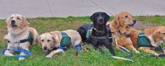 What training does my dog need to become a animal assisted therapy dog? #dogs #animaltherapy