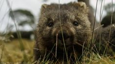 FOOTAGE of a curious young wombat could be the beginning of a BBC documentary about Tasmanian wildlife.