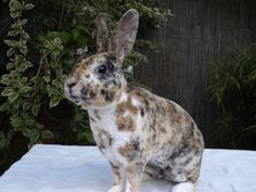 I want this beautiful rabbit! He/she is a mini rex.   He/she looks like a COOKIE