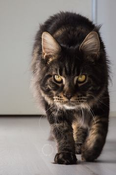 Maine coon kitten 9 months brown tabby blotched. Millquartercoons Boreas Albus. Black tabby. Instagram: @boreas.abus.mainecoon