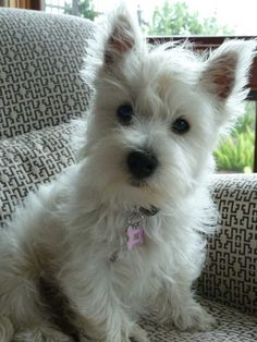 It's so fluffy!!! Westie puppy