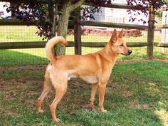 Carolina Dog Catch this dog if you can. The Carolina dog, or the American Dingo as it's widely called, was originally a roaming dog living in the wild. It was discovered in southeastern US in the 1970s and is bred in captivity these days.