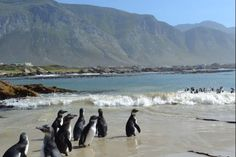 Penguin cape town endangered penguins set free at Bettys Bay