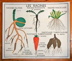 Botanical classroom chart from France. Bright orange carrot drawings on side and a perfectly drawn seedling diagram on one side and a perfectly drawn seedling diagram on the other. Vintage Wall Art, Vintage Walls, Vintage Images, French Vintage, Carrot Drawing, Dahlia, Classroom Charts, School Posters, French School