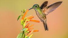 It's one of the largest species of hummingbird. (Flickr.com/Andy Morffew)