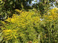 Aranyvessző virágzáskor, gyógyfüves kertem Plants, Planters, Plant, Planting