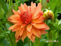 Quality dahlias grown in Washington State. We sell single dahlia tubers and dahlia bulbs that are true to name, guaranteed to grow and are free from viruses and diseases. Dahlia, Plants, Garden, Growing, Tubers, Amaranth, Flowers, Growing Dahlias