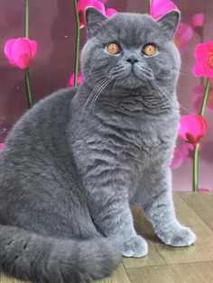 British Shorthair - British Shorthair - Ideas of British Shorthair - British Shorthair The post British Shorthair appeared first on Cat Gig. I Love Cats, Cute Cats, British Shorthair Kittens, Scottish Fold, Grey Cats, Domestic Cat, Beautiful Cats, Cat Breeds, Pet Birds