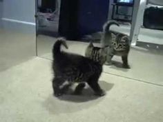 #Cute #Kitten Vs The Mirror - #funny
