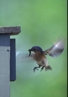 Bluebird Nest Box Plans