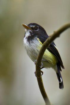 Poecilotriccus capitalis Se encuentra en matorrales, sobre todo de bambú, en el sur de Colombia, este de Ecuador y Perú, y al sur-oeste de Brasil.