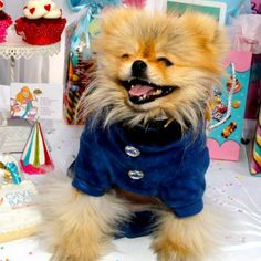 Giggy the Pom from RHOBH- too cute!