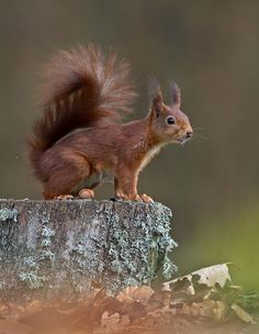 Squirrel by Nico van Gelder - Photo 63138119 - 500px