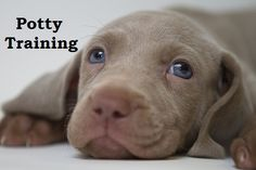 Weimaraner Puppies. How To Potty Train A Weimaraner Puppy. Weimaraner House Training Tips. Housebreaking Weimaraner Puppies Fast & Easy. Share this Pin with anyone needing to potty train a Weimaraner Puppy. Click on this link to watch our FREE world-famous video at ModernPuppies.com