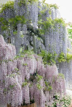 Ashikaga Flower Park, Japan 足利フラワーパーク