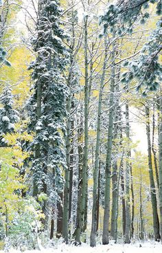 """""""Snowy Aspens 2""""- These snow covered aspens were photographed near the Equestrian Center in Tahoe Donner, CA.  Photographed: September 2007"""
