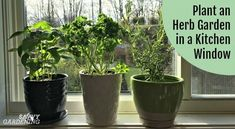 Plant an Herb Garden for a Kitchen Window and Grow Herbs Year-round