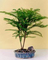 Click Image Above To Purchase: Norfolk Island Pine-medium (araucaria Heterophila)