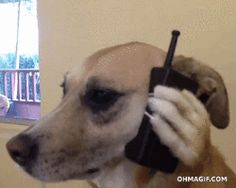 New trending GIF on Giphy. dog phone dog on phone. Follow Me CooliPhone6Case on Twitter Facebook Google Instagram LinkedIn Blogger Tumblr Youtube