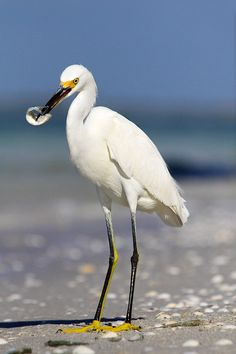 Snowy Egret -We are lucky enough to see these often around the lake in my backyard...S.fl
