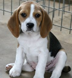 Stunning Small To Medium Sized Dog Breeds Plus Breeds Of Small Dogs : Best Small Dog Breeds: Beagle Small Dog Best Small Dog Breeds, Best Small Dogs, Most Beautiful Dog Breeds, Cute Beagles, Cute Dogs, Dog Names Unique, Beagle Puppy, Labrador Puppies, Retriever Puppies