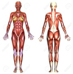 Picture Of Female Body Anatomy Hey Guys Im Starting An Anatomy Study Of The Female Body I Would. Picture Of Female Body Anatomy Female Body Anatomy Isolated On White Stock Photo Picture And. Picture Of Female Body Anatomy Anatomy… Continue Reading → Human Anatomy Female, Human Anatomy Picture, Anatomy Models, Anatomy For Artists, Body Muscle Anatomy, Figure Drawing Female, Human Body Organs, Human Sketch, Anatomy Reference