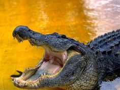 African Crocodile Pictures