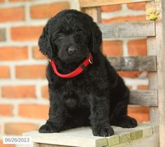 Wonderful Labradoodle Anime Adorable Dog - 1793a48a8253fe27df79b303d1e94d3b--labradoodle-puppies-for-sale-labradoodle-dog  Graphic_766535  .jpg