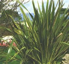 Resultado de imagen para planta pita