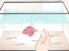 """How to Take Care of a Betta Fish. Bettas, also known as """"Siamese fighting fish"""", are popular pets recognized for their aggressiveness, interactivity, and low cost for care and maintenance. Betta fish can prove to be your best friend for. Aquariums, Aquarium Maintenance, Betta Fish Care, Cheap Pets, Beta Fish, Aquarium Fish Tank, Fish Tanks, Siamese Fighting Fish, Beautiful Fish"""