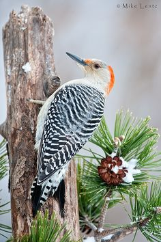 Red-Bellied Woodpecker by Mike  Lentz on 500px