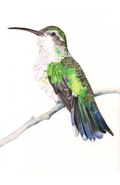 Hummingbird print of watercolour painting HB3415  by LouiseDeMasi