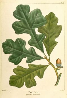 """Post oak, Quercus stellata, is a small tree in the white oak group, typically 30–50' tall with 12–24"""" trunk diameter, tending to grow in the open on poor sites. Low, diffuse branching pattern gives a rugged appearance. Leathery leaves have a distinctive shape, with three perpendicular terminal lobes & tomentose (densely short-hairy) beneath. Acorns are  0.5–0.75"""". Not good for lumber but hard, tough & rot-resistant wood is great for fence posts & even BBQ wood. Found statewide. #Arkansas"""