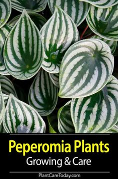 """Did You Know The Peperomia Plant is Known as the 'Radiator Plant'? The Peperomia houseplant or """"Baby Rubber Plant,"""" aka """"Radiator Plant"""" easy to grow, over 1000 species. Tips on growing Peperomia houseplants, including advice on propagation. Organic Plants, Organic Gardening, Gardening Tips, Balcony Gardening, Indoor Garden, Garden Plants, Indoor Plants, Herb Garden, Types Of Herbs"""