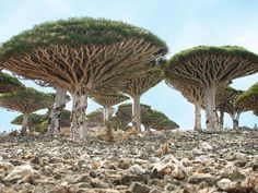 """7 mysterious places on earth- Alien looking umbrella-shaped """"blood trees"""" are found only in Socotra, a four island archipelago in the Indian Ocean. Post: 7 Most Mysterious Places on Earth. via Hub Pages Socotra, Dracaena Cinnabari, Mysterious Places On Earth, Mysterious Things, Dragon Blood Tree, Dragon Tree, Beautiful World, Beautiful Places, Amazing Places"""