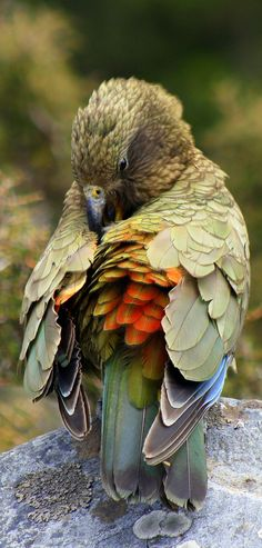 A Kea at Arthur's Pass - South Island, New Zealand. Writing prompt idea for kiwi kids. ♥ Lucy, Beyond Imagination New Zealand Kinds Of Birds, All Birds, Birds Of Prey, Love Birds, Pretty Birds, Beautiful Birds, Animals Beautiful, Cute Animals, Funny Animals