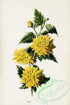 Double Kerria, kerria japonica - high resolution image from old book. Flower Ornaments, Plant Pictures, Botany, Clip Art, Floral, Illustration, Nature, Flowers, Plants