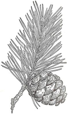 Antique Graphics Wednesday - Evergreens and Pine Cones - Knick of Time