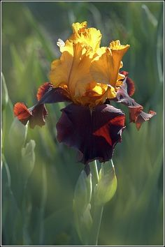 flowersgardenlove: Iris 'Supreme Sultan Flowers Garden Love