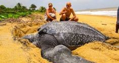 Sea turtles are majestic creatures and this one spotted by tourists on a beach is the world's largest. The Leatherback Turtle was seen emerging from the sea in an unknown location, resting in the sand and then heading back just to disappear in the waves.
