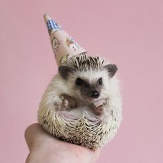 A tiny birthday hat for a tiny birthday hedgehog. I turn two today! by adventuresofcalico Happpy Birthday, Happy Birthday Cousin, Funny Happy Birthday Meme, Happy Birthday Beautiful, Hedgehog Pet, Cute Hedgehog, Happy Animals, Animals And Pets, Hedgehog Birthday