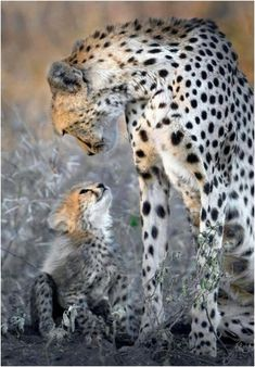 Cheetah Child - Animal Moms And Babies That Prove A Mother's Love Is Unconditional - Photos