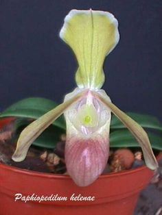 Another Color-Variant of Paphiopedilum helenae
