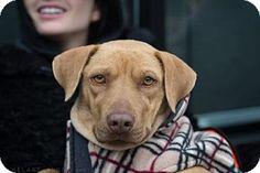 Brooklyn, NY - Labrador Retriever/Pit Bull Terrier Mix. Meet Ingrid Bergman, a dog for adoption. http://www.adoptapet.com/pet/17622822-brooklyn-new-york-labrador-retriever-mix