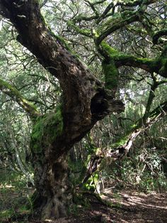 old Milkwood tree in the magical indigenous forest of the Platbos Forest Retreat, Gansbaai, Western Cape, South Africa Port Elizabeth, Nature Tree, Tree Forest, Tree Art, Tree Of Life, Amazing Nature, Places To See, South Africa, Flora