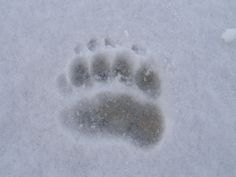 Impronta anteriore di Orso bruno (Foto di M.Zorzi) rilevata dalle GEV del Parco dell'Adamello nel settore meridionale dell'area protetta (www.uomoeterritoriopronatura.it).