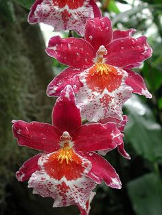 These are sooo pretty! Caring for Oncidium orchids Unusual Flowers, Rare Flowers, Amazing Flowers, Beautiful Flowers, Beautiful Gorgeous, Beautiful Things, Orchid Plants, Exotic Plants, Orchids