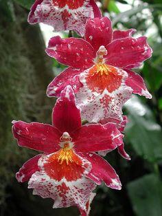 Exotic Orchids | Serafini Amelia | Vuylstekeara Cambria orchid