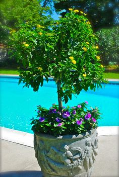 Purple vinca and what looks like some type of acacia tree to me.  A tree from yellow lantana would also work. Outdoor Flowers, Outdoor Planters, Garden Planters, Outdoor Gardens, Outdoor Patios, Outdoor Living, Outdoor Decor, Container Plants, Container Gardening